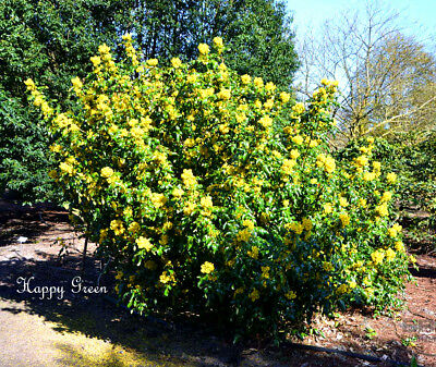 OREGON GRAPE - Mahonia aquifolium - 33 SEEDS - Shrub