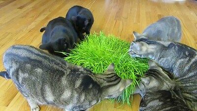 Fresh Organic Garden Pet Grass Better Treat for Feline Digestive System 200Seeds