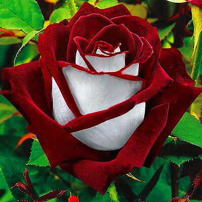 20Pcs Rare Seed Osiria Rose Ruby Rose Flower Seeds Garden Plants Red With White