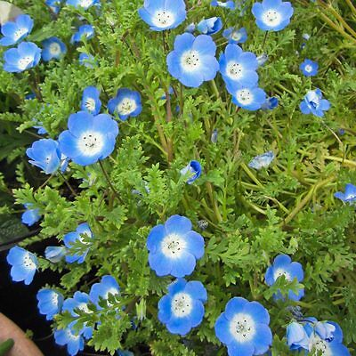NEMOPHILA Baby Blue Eyes Seeds (F 186)