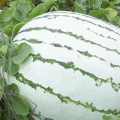 Watermelon DIXIE QUEEN 15 Seeds (HEIRLOOM) Fruit