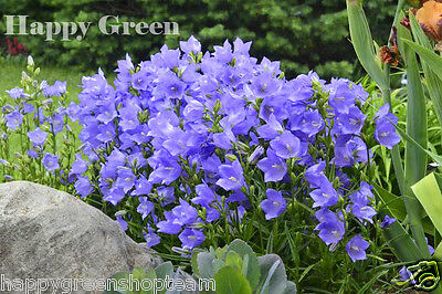 Peach Leaved Bellflower Mix - Campanula persicifolia - 2200 seeds