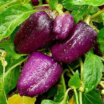 VEGETABLE - SWEET PEPPER - PURPLE VIOLET BELL - 50 seeds - Sweet and crunchy