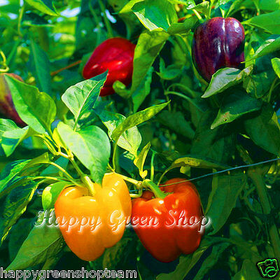 VEGETABLE - SWEET PEPPER BELL MIX - 100 SEEDS -  White Yellow  Red Green Purple