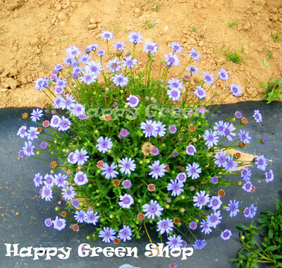 FELICIA -THE BLUE BLUES DAISY - 110 SEEDS - Felicia Heterophylla - ANNUAL FLOWER
