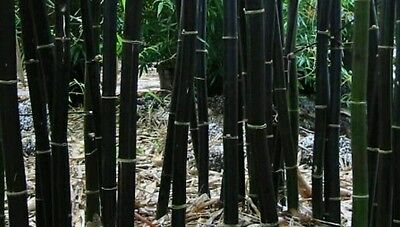 GIANT black asper bamboo seeds! rare easy to grow and hardy, Fresh seeds!