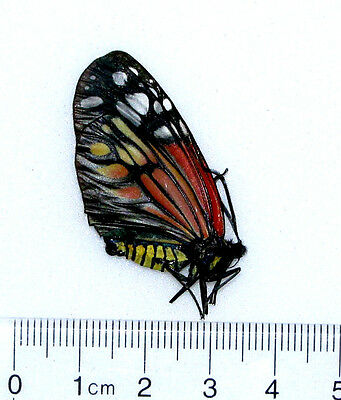 One Red Veined Campylotes Zygaenidae Unmounted Wings Closed