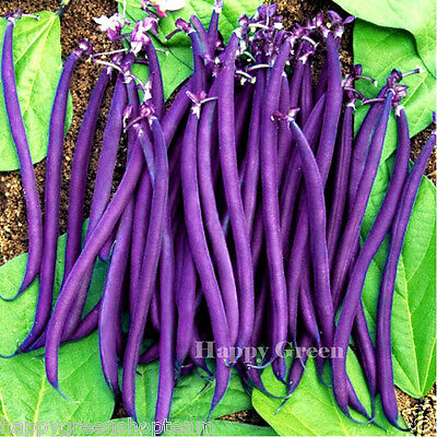 BUSH BEAN PURPLE TEEPEE - 80 seeds  Phaseolus vulgaris - HIGHLY YIELDING VARIETY