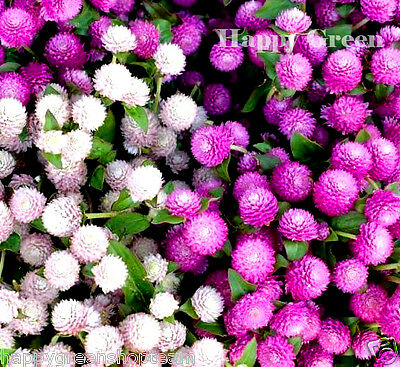 GOMPHRENA MIX - Gomphrena Globosa - 100 SEEDS - Annual Flower