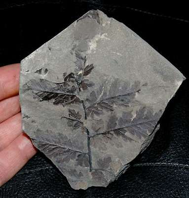 Mariopteris acuta - Very nice, well preserved fossil plant