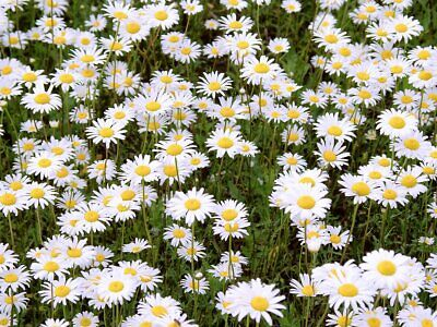 Daisy Lawn Grass Seed Cottage garden hard wearing certified seed  500g to 20kg