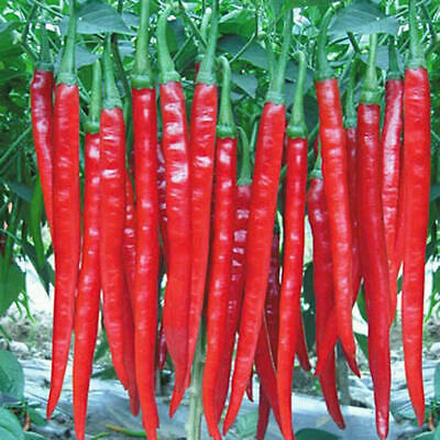 Giant Spices Red Spicy Chili - Pepper Seeds - Chilli Plant - Fresh Seeds - Rare