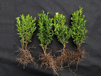 100 x Box / Buxus 10 - 15cm - Box Hedging, Buxus Plants from Producer