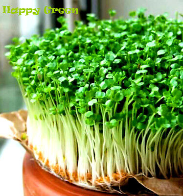 Sprouting seeds - WILD ROCKET - Sprouts seeds 10 GRAMS