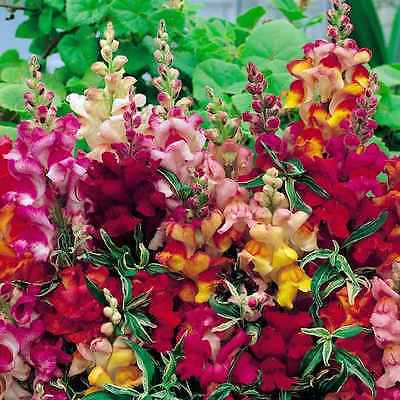Snapdragon Heirloom Seed Mix -Antirrhinum Maximun Approximately 2000 Seeds 1.75g