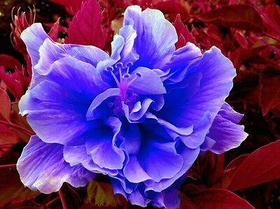Hibiscus blue/lilac double flower! Fresh seeds fast germination! easy to grow!