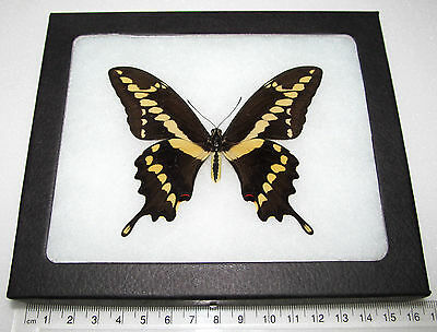 Real Az Giant Swallowtail Papilio Cresphontes Rumiko Framed Butterfly Insect