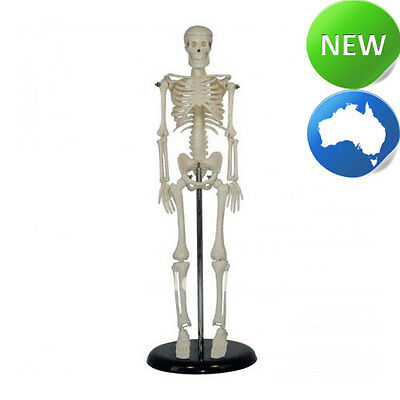 Small Human Skeleton on Stand - 42cm - Medical Anatomy