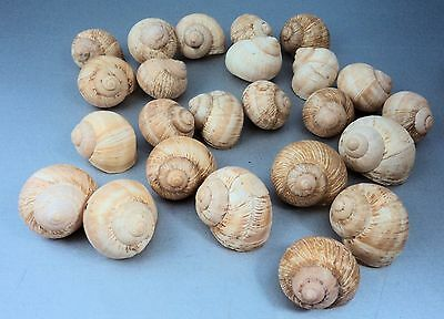 24 Cockle Shells Sea Shells Seashore Crafts from Jersey Shore