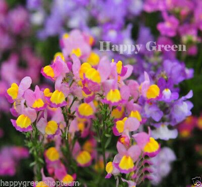 TOADFLAX - BABY SNAPDRAGON - 15 000 SEEDS - Linaria Maroccana - ROCKERY FLOWER