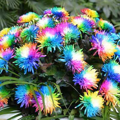 100PCS Useful Rainbow Chrysanthemum Flower Seeds,rare Special unusual Colorful