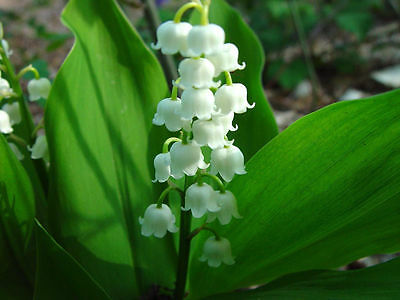 10 White Lily Of The Valley Fresh Seeds, Rare Exotic Home Garden Plant Seeds