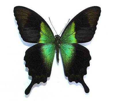 PAPILIO PERANTHUS TRANSIENS - unmounted butterfly