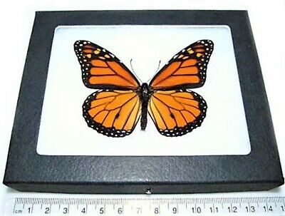Real North American Monarch Danaus Plexippus Butterfly Insect Framed