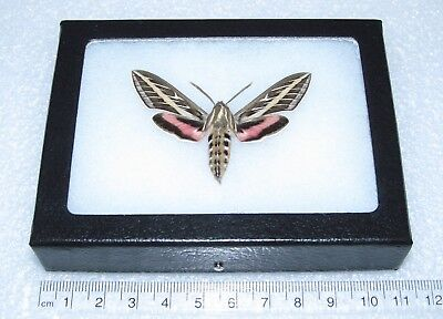 Real Framed Moth Arizona Pink White Lined Sphinx