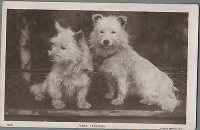 Skye Terrier  Vintage  Dog Postcard Real Photograph 1907