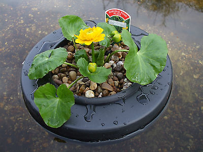 Floating Pond Plant Island / Pot / Basket with or without 1 x Marginal plant.