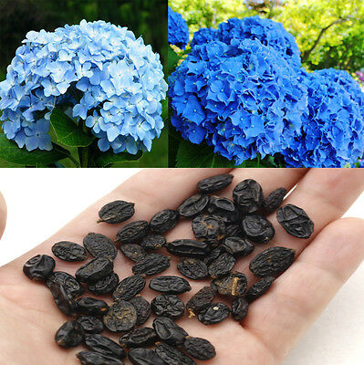 50PCS Potted Blue Hydrangea Flower Seeds Flower Plants Rare Seeds DIY Lots