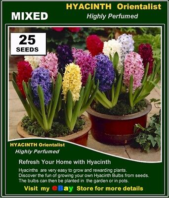 FLOWER SEEDS*  HYACINTH Orientalis  Mix Colour 25x SEEDS -Highly Perfume