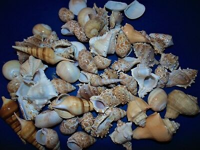 1 Kilo Large Indian Ocean Mixed  Sea Shells  Beach Decor Nautical Craft Tropical