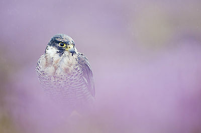 Framed Print - Peregrine Falcon in a Pink Mist (Picture Poster Art Bird of Prey)