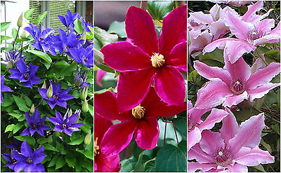 MIXTURE OF 3 Clematis LARGE FLOWERING 3 Jumbo Plug Plants