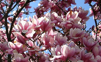 Magnolia tree seeds! Viable and ready to plant now!! Tulip trees blossom tree