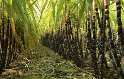 Sugar Cane! Grow your own sugar! Grows 8-18ft!! Tropical plant! Indoor/out