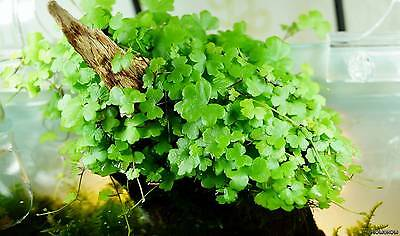 Pianta Piante Vera  Acquario Hydrocotyle Tripartita Japan Live Aquarium Plant !