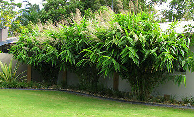 Thysanolaena Latifolia Tiger Grass bamboo like plant tropical exotic grass Seeds