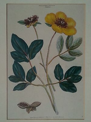 "Antique botanical lithograph by J. Miller ""Polyandra Digynia Paeonia """