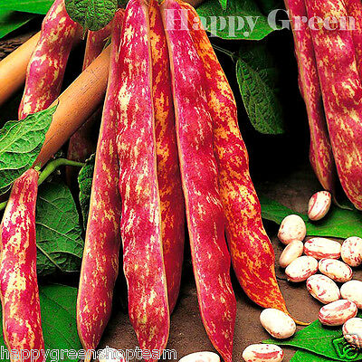 Vegetable - Dwarf Italian Borlotto Bean - 75 Seeds - Lingua Di Fuoco