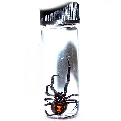 Arizona Southern Black Widow Latrodectus Female Real Spider Preserved In Vial