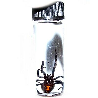 Arizona Southern Black Widow Latrodectus Female Spider Preserved In Glass Vial