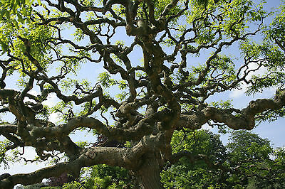 Japanese Pagoda tree,Weeping,flowering tree,ideal bonsai!fully cold hardy,seeds