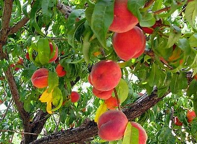 PEACH Tree fresh seeds! Exotic edible fruit tree! Flowering, ideal for bonsai!