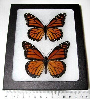 Real North American Monarch Pair Danaus Plexippus Framed Butterfly Insect