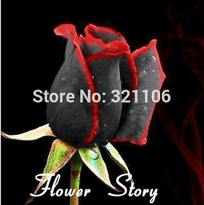 20 Black Rose Seeds with red edge, rare color ,popular garden flower