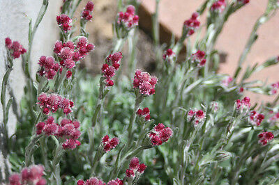 20 RED PUSSYTOES Pink RedTinted Antennaria Dioica Rubra Everlasting Flower Seeds