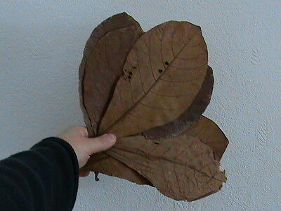 10 LARGE ALMOND LEAVES - For apistogramma, betta, discus, shrimps etc. CATAPPA